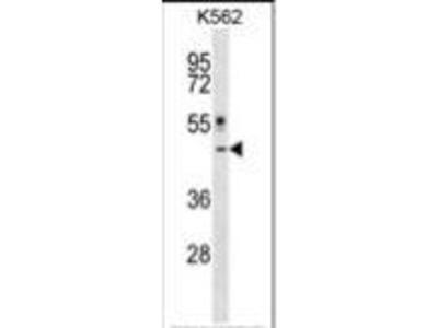 Rabbit Anti-CRLF1, ID Antibody