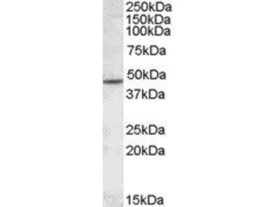 Goat Anti-Cholinergic Receptor, Nicotinic, beta 2 Antibody
