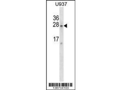 Rabbit Anti-SRA1, CT Antibody