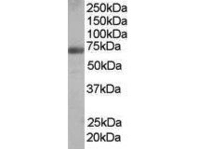 Goat Anti-FNBP1 Antibody