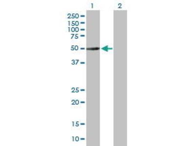 Mouse Anti-TUBA3C Antibody