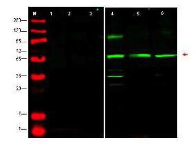 Rabbit Anti-PTEN-P1 Antibody