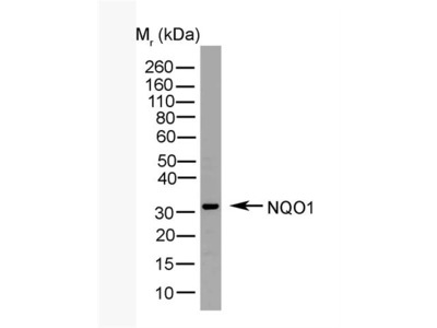 Mouse Anti-NQO1 Antibody (HRP)