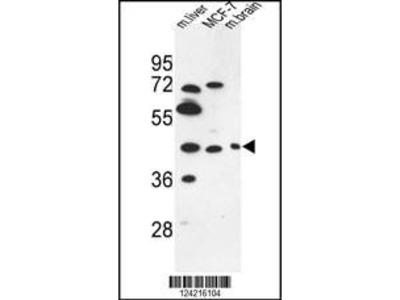 Rabbit Anti-PSG3, NT Antibody