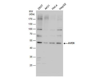 Anti-AVEN antibody