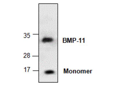 Anti-BMP11 antibody