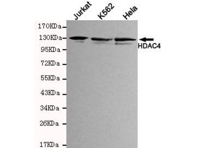 Anti-HDAC4 antibody [4A3-H7-C6]