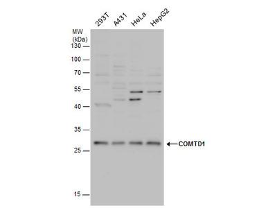 Anti-COMTD1 antibody