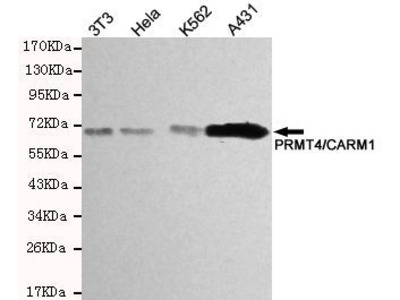 Anti-CARM1 antibody [2B9-H11-H10]