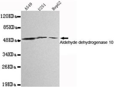 Anti-ALDH3A2 antibody [3F7-H9-E12]
