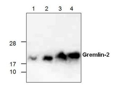 Anti-GREM2 antibody