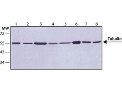 Anti-Tubulin (Acetyl Lys40) antibody [6-11B-1]