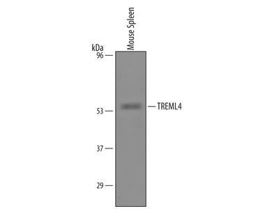 Mouse TREML4 / TLT-4 Antibody