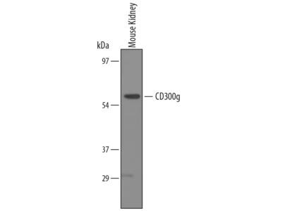 CD300g / Nepmucin Antibody