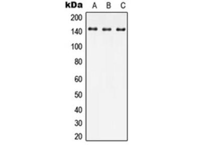SPAG9 antibody