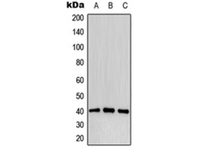 CD32b antibody