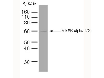 MOUSE ANTI AMPK ALPHA 1/2