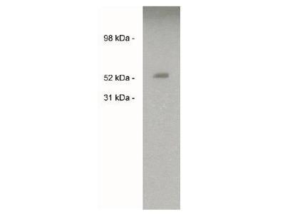 Sulf2 antibody