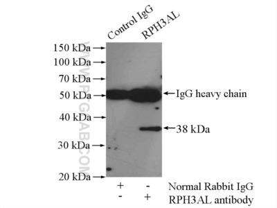 RPH3AL antibody