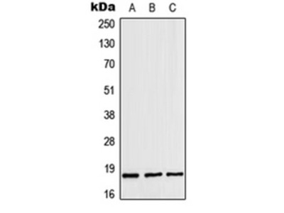 ZNHIT1 antibody
