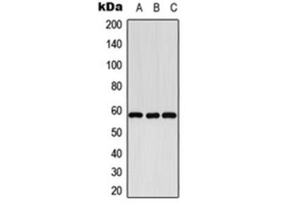 CYP8B1 antibody