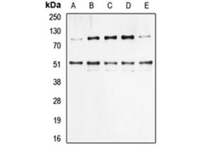 NFKB1 (phospho-S337) antibody