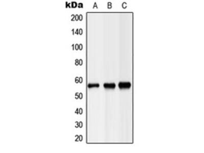LIPC antibody