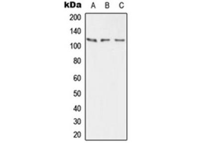 ATP2B2 antibody