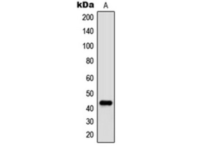 c-Jun (phospho-T91) antibody