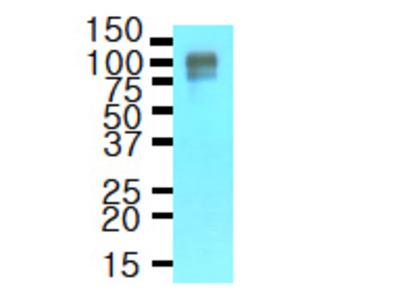 Amyloid Precursor Protein (APP) mouse monoclonal antibody, clone J4H9, Purified