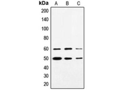 SS18 antibody