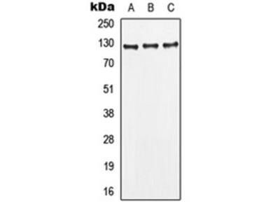 Leptin Receptor antibody