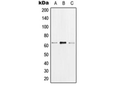 HNRNPK (phospho-S284) antibody