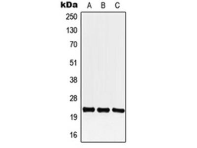 CREG1 antibody