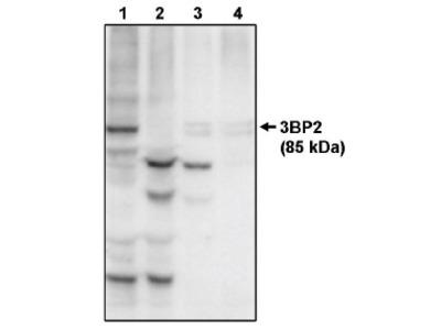 anti SH3BP2