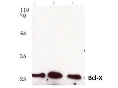 anti Bcl-2-like 1 (Bcl-xL)