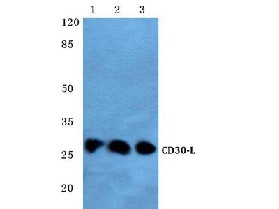 anti CD153 / CD30L