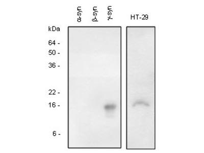 anti Gamma-Synuclein / SNCG
