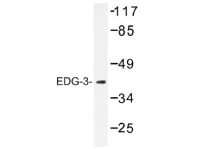 anti EDG3 / S1P3