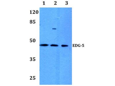 anti EDG5 / S1P2