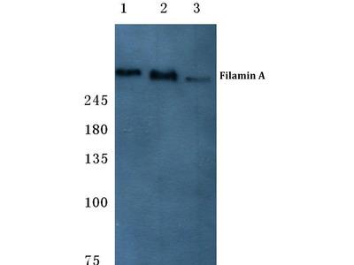 anti Filamin-A