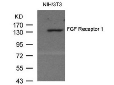 anti FGFR1