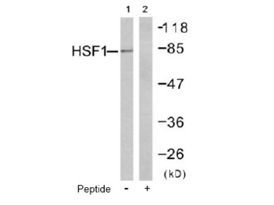 anti Heat shock factor 1 / HSF1