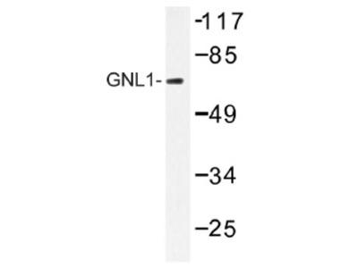 anti GNL1 / HSR1