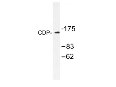 anti CUTL1 / CDP