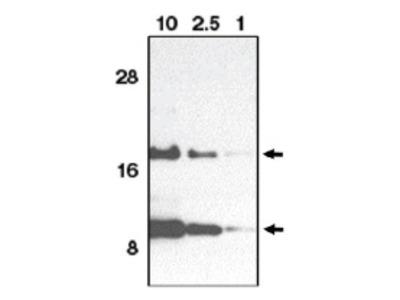 Eotaxin (CCL11) (C-term) rabbit polyclonal antibody, Purified