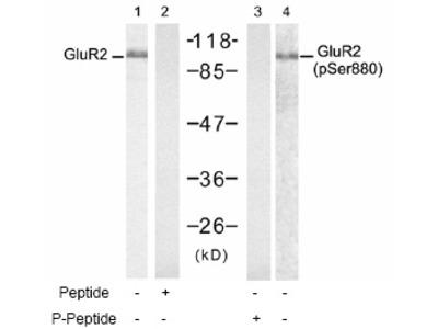 anti Glutamate receptor 2 / GLUR2