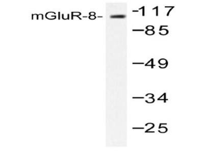 anti mGluR8 / GRM8