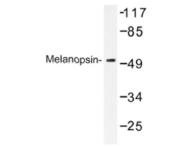 anti Melanopsin