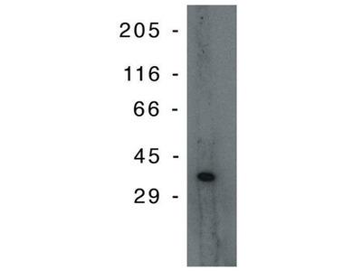 anti TP53I3